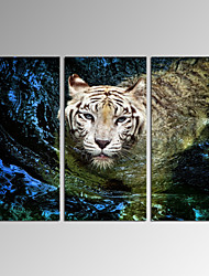 VISUAL STAR®Tiger in Water Picture Stretched Canvas Art Set of 3 Ready to Hang